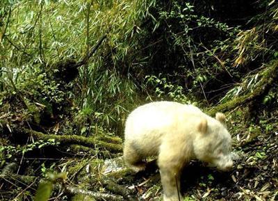 Albino panda spotted  in China