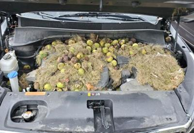 Squirrel packs engine bay with 200 walnuts
