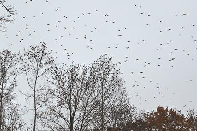 Starlings migrate over Livingston