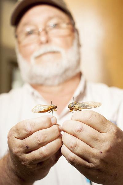 While cicadas grab headlines east of the Mississippi, activity in Arkansas remains low