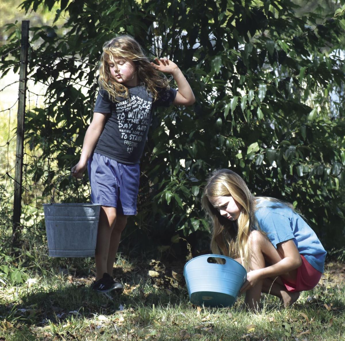 Picking walnuts