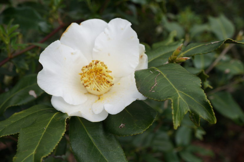 HGIC - What is Wednesday - Fishtail Camellia, Camellia japonica 'White Mermaid'