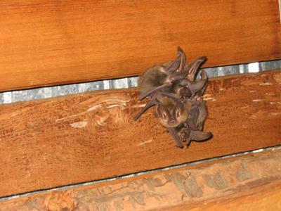 Bat volunteers needed