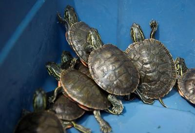 Turtles, butterflies and foxes: Captive breeding for endangered species growing