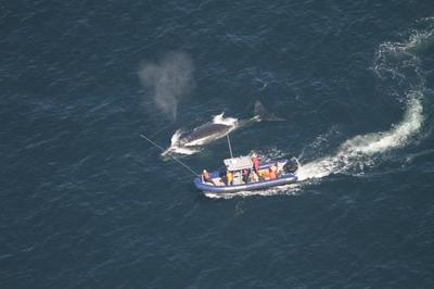 One of three entangled North Atlantic right whales may be on its way to freedom
