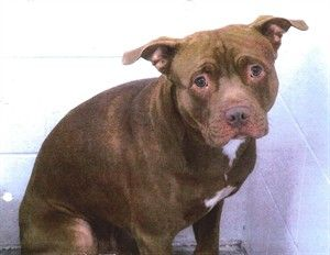 B.C. judge orders destruction of pitbull after 'savage' attack on owner