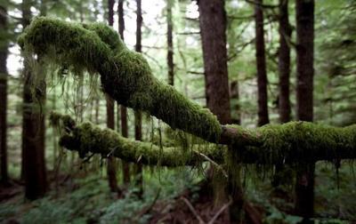 Squamish Nation calls for old-growth logging moratorium in its territory