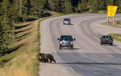 Death of mother grizzly a 'big loss' for bear population in Banff park: experts