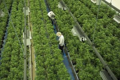 Canopy Growth shares tumble on CEO exit plans, loss of market share