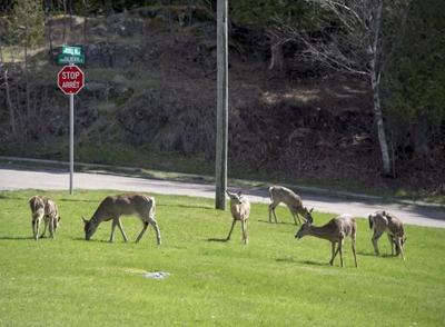 New Brunswick extends bow hunt to control deer population in populated areas