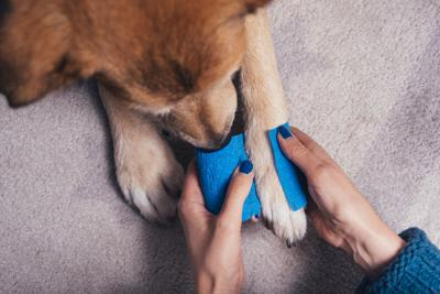 Girl putting blue bandage on injured dog paw