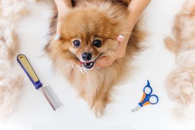 professional dog hairdresser, grooming a dog