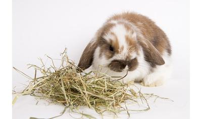 little rabbit eating hay on a white background