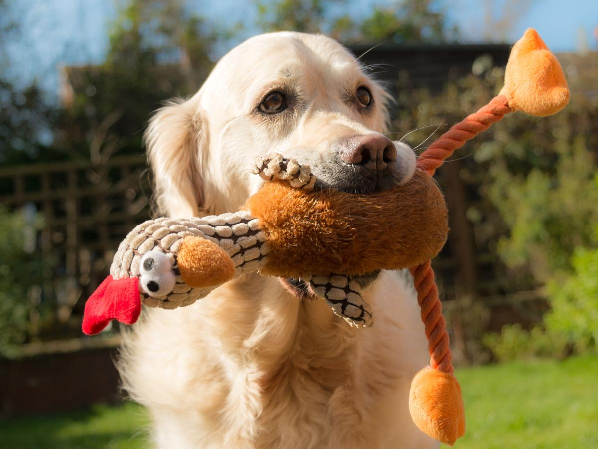 A happy dog holding a soft toy