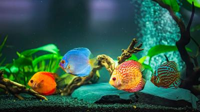 Colorful fish from the spieces Symphysodon discus