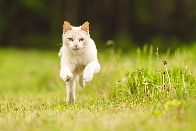 cat running field