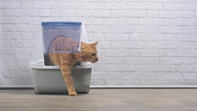 Cat coming out of litter box.