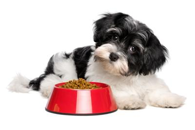 Cute Havanese puppy dog