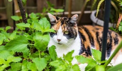 Closeup of calico cat lying in bed of catnip greens plant in outdoor home garden by fence