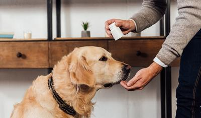 Cropped view of man giving vitamins to golden retriever at home
