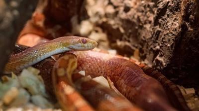 Corn snake or Pantherophis guttatus