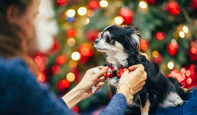 woman owner fixing bowtie on funny little dog wearing glasses in christmas decor