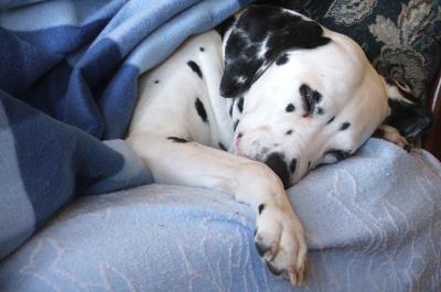 sleepy dalmatian.jpg