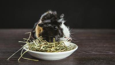 Guinea Pig eating hay