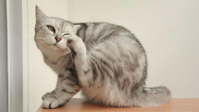 Cat scratching his ear.