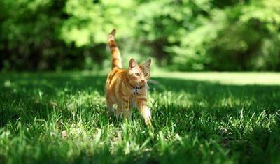 橙色的猫在草地上散步