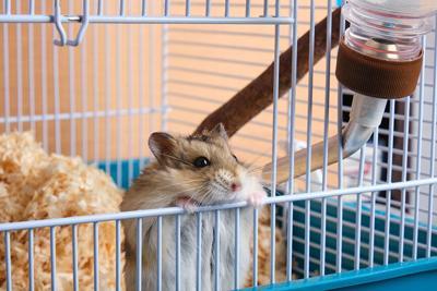 Dzungarian hamster