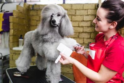 Groomer brushing standard gray poodle at grooming salon.