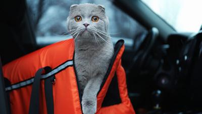 Pet carrier with cat in car
