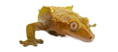 How to Care for Crested Geckos