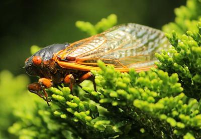 Pixabay, cicada