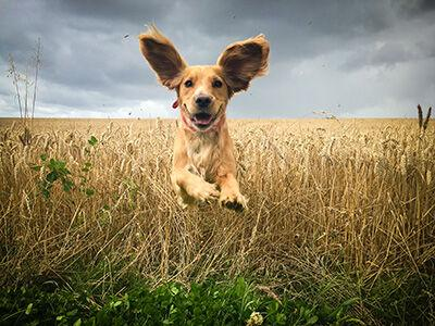 Are Grain-in Dog Foods the Answer to the DCM Debate?