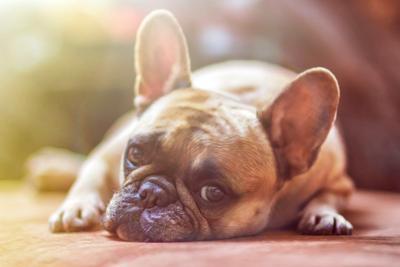 Pixabay, bulldog puppy