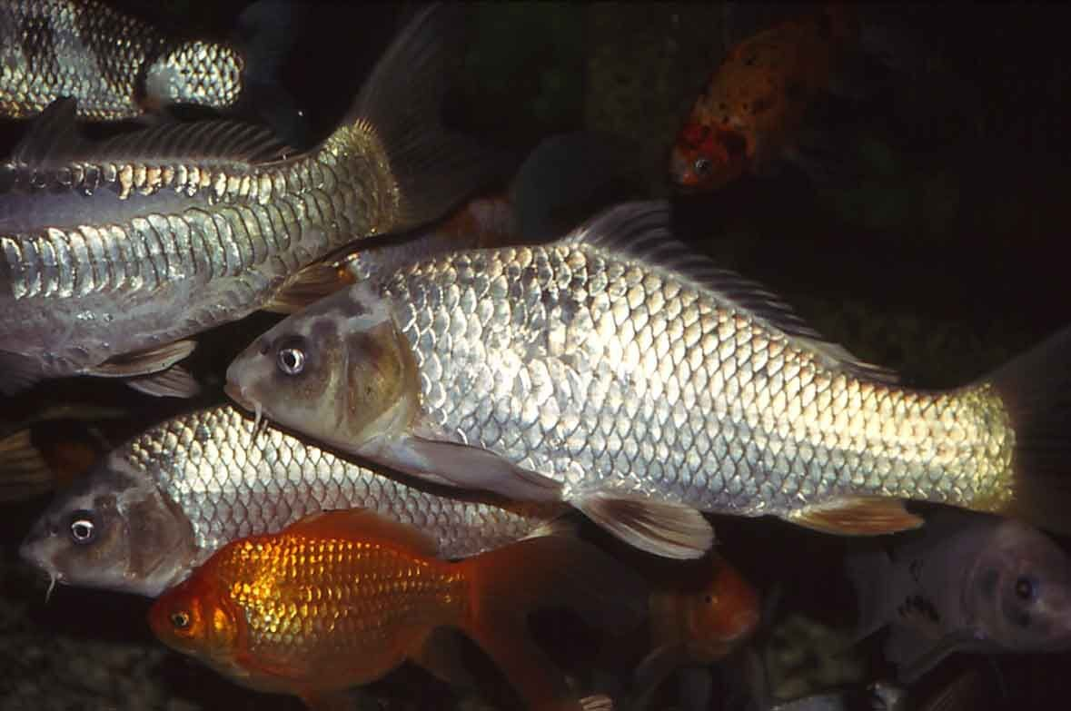 Herd Immunity Could Scarper Carp Control Program