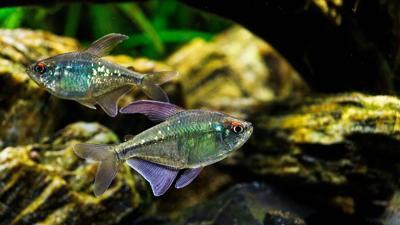 Pixabay, tetra fish aquarium