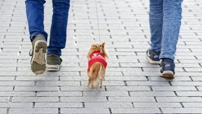Pixabay, small dog walking city