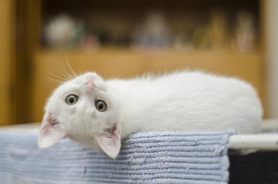 Pixabay, white kitten