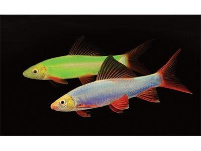 Cosmic Blue and Electric Green GloFish Sharks