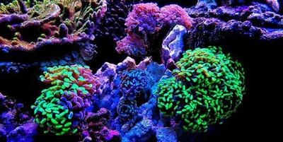 Could Aquatics Retailers Expect a Boost in Coral Sales?