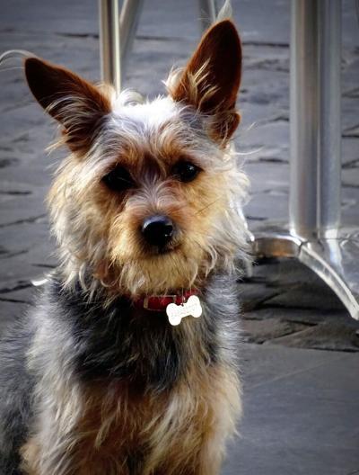 Pixabay, dog with ID tag