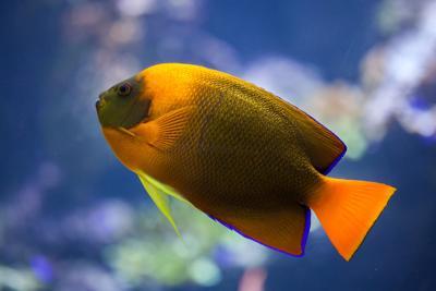 International Waters: Australian Clarion Angelfish Clarification