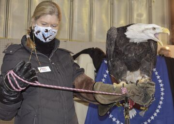 Phoenix the Bald Eagle