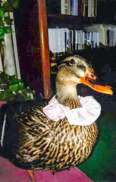 A12Dawn the Duck 1.jpg