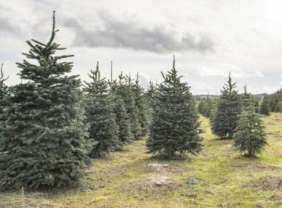 A1 Christmas trees.jpg