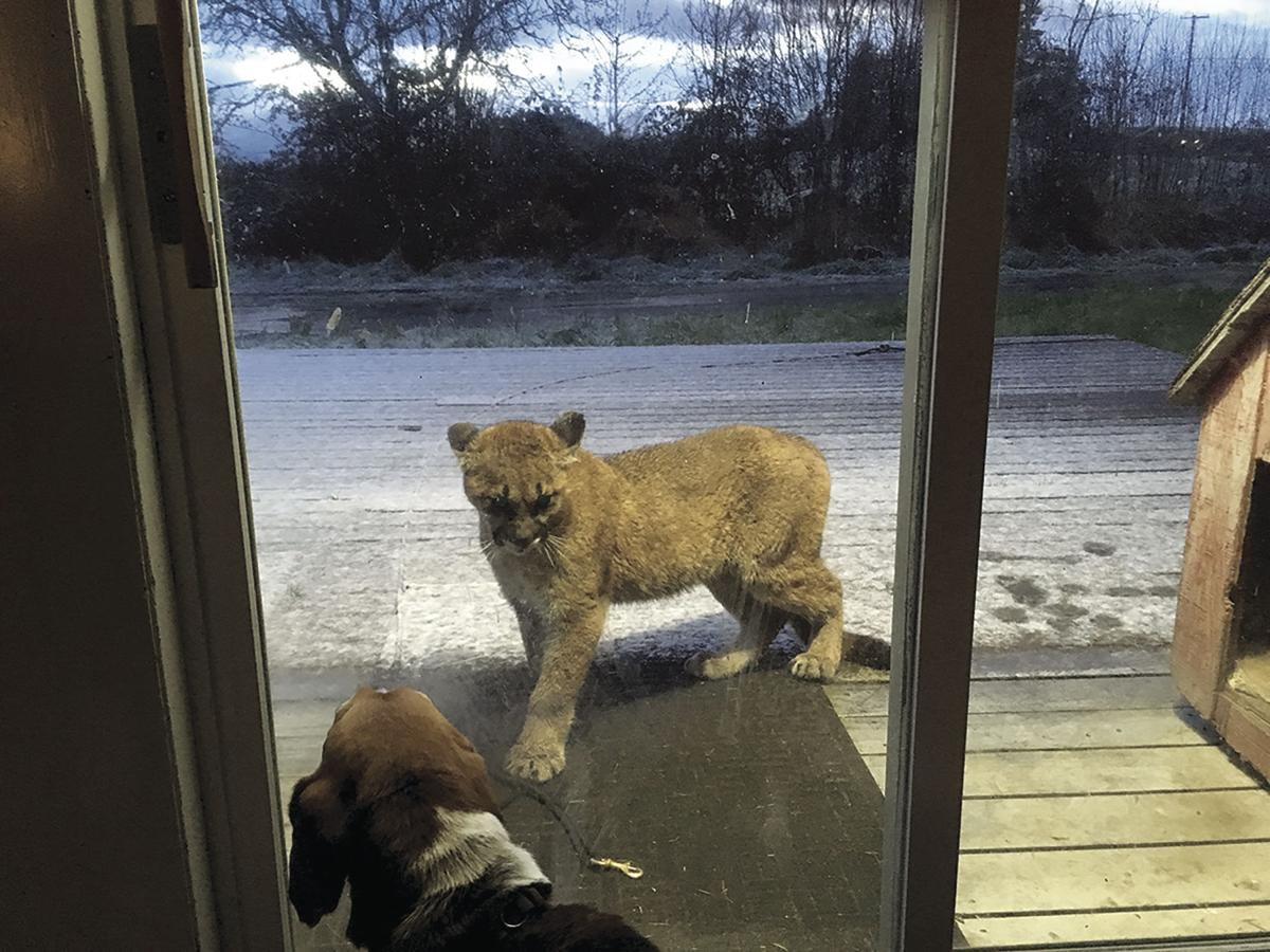 Cougars spotted on East Ellendale Ave in Dallas