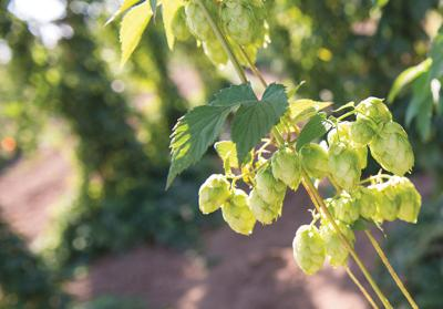 Brewing beer? Grow your own hops